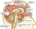 Žmogaus smegenų struktūra.png