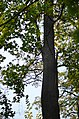 Айлант високий №2 у Кам'янець-Подільському по вулиці Сіцінського, 2. Фото 1.jpg