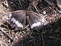 Бабочка в бухте Ласпи 3.jpg