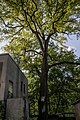 Багатовікове дерево дуба звичайного 01.jpg