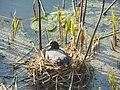 Барський орнітологічний заказник лисуха 1.jpg
