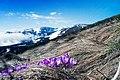 Весняні квіти на Драгобраті.jpg