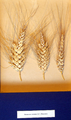 Ветвистая пшеница.png