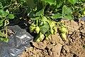 Вирощування полуниці 7.jpg