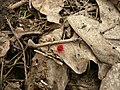 Клещ-краснотелка KR 01.jpg