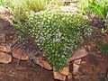Мар'їн стрімчак. Thymus sp.jpg
