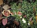 Пагін чорниці на сфагновому острівці восени.jpg