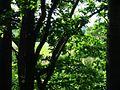 Прибрежный дуб - panoramio.jpg