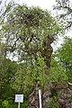 Софора японська у парку палацу барона Бруністе.jpg
