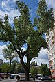 Тополя чорна (ботанічна пам'ятка природи).jpg