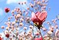 Цветок розовой магнолии на ветке.jpg