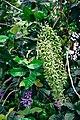 พวงคราม Petrea volubilis Photographed by Trisorn Triboon 03.jpg
