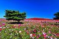 ひたち海浜公園 - panoramio (155).jpg