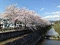 京都市 岩倉川の桜.jpg