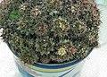 仙人掌-松霞(金松玉) Mammillaria prolifera -香港北區花鳥蟲魚展 North District Flower Show, Hong Kong- (24089426161).jpg
