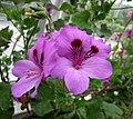 天竺葵 Pelargonium Purple Unique -哥本哈根大學植物園 Copenhagen University Botanical Garden- (36160210954).jpg