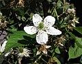 懸鉤子屬 Rubus argutus x alleghaniensis -波蘭華沙 Powsin PAN Botanical Garden, Warsaw- (36645982365).jpg