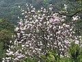 楓樹湖辛夷 Magnolia flowers at Fengshuhu - panoramio.jpg