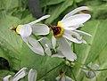 流星花屬 Dodecatheon meadia -哥本哈根大學植物園 Copenhagen University Botanical Garden- (36932495406).jpg