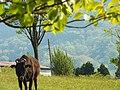 牛さん - panoramio.jpg