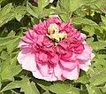 牡丹-映日紅 Paeonia suffruticosa 'Sunshine Red' -洛陽神州牡丹園 Luoyang, China- (12452168455).jpg