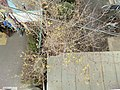 羽村市動物公園前の蝋梅 - panoramio.jpg