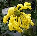 菊花(寬帶型) Chrysanthemum morifolium Broad-ribbon-series -上海共青森林公園 Shanghai, China- (9252462279).jpg