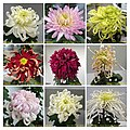 菊花 Chrysanthemum morifolium cultivars 15 -上海共青森林公園 Shanghai, China- (11961617384).jpg