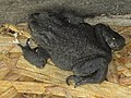 -2018-08-15 Common Toad (Bufo bufo), Trimingham (2).JPG