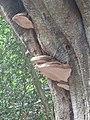 -2019-10-23 Bracket fungi (Ganoderma applanatum), Pond plantation, Trimingham (2).JPG