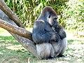. Gorilla.jpg