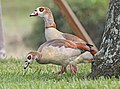 021.5 - EGYPTIAN GOOSE (1-31-2016) miami-dade co, fl -03 (24644251310).jpg