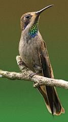 134px-050305_Brown_Violet-ear_crop dans OISEAUX