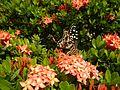 09019jfClose-ups of butterflies on flowers Bulacanfvf 08.jpg