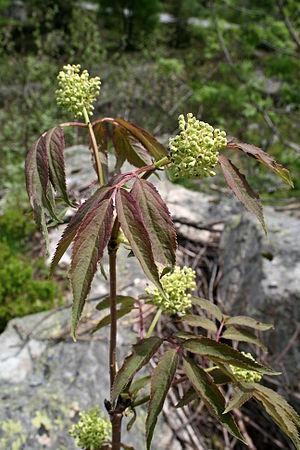 Sambucus racemosa - Image: 0 Sambucus racemosa Vallorcine