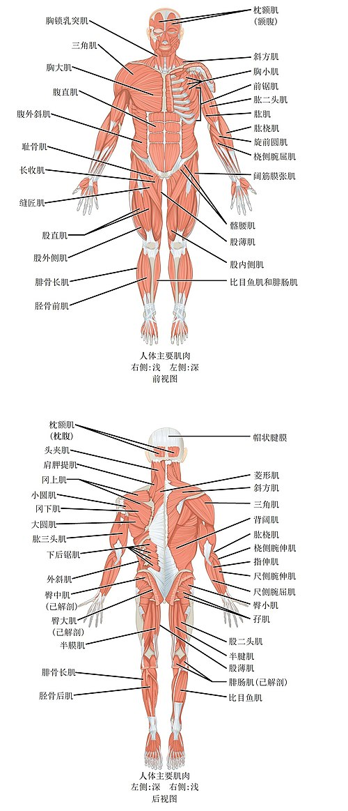 1105 Anterior and Posterior Views of Muscles zh.jpg