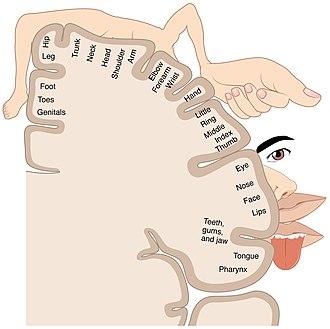 Somatotopic arrangement - Precentral gyrus sensory homunculus