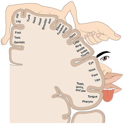 Cortical homunculus - Wikipedia