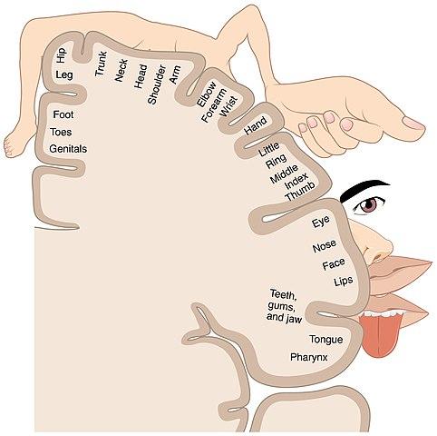 De sensoriska centrumen i hjässloben bakom hjärnans centralfåra.