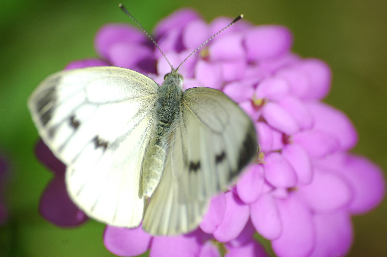 File 2009 06 28 10 Cabbage White Butterfly Gro 223 Er