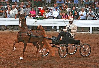 American Saddlebred - A Saddlebred in harness