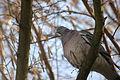 2010-03-10 (7) Ringeltaube, Woodpigeon, Columba palumbus.JPG