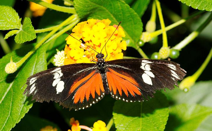 2011-08-08 15-13-38-papillon-hunawihr.jpg
