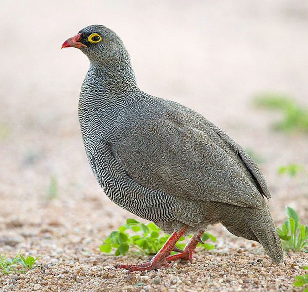 File:2011-red-billed-francolin.jpg