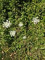 2014-08-27 15 21 32 White flowers along the Stony Brook Trail and the Meadow-Pond Trail in the Stony Brook-Millstone Watershed Association, New Jersey.JPG