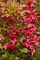 2014.10.01.-10-Edertal Bringhausen--Gemeiner Schneeball mit reifen Fruechten.jpg