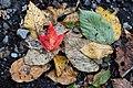 2015-365-279 Leafy Pileup (22017770271).jpg