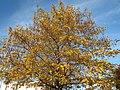 20151105Pterocarya fraxinifolia2.jpg