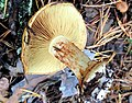2016-09-14 Cortinarius cedretorum Maire 691356.jpg