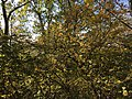 2016-10-24 12 42 25 American Witch-Hazel in bloom at the Loft Mountain Overlook along Shenandoah National Park's Skyline Drive in Greene County, Virginia.jpg
